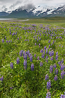 Field of lupine wildflowers, Cape Douglas, Katmai National Park, Alaska Peninsula, southwest Alaska. Aleutian mountain range in the distance.