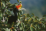 A rhinoceros hornbill perched in a strangler fig tree.