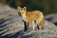 Red Fox standing on top of some hay bales hunting for mice
