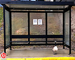 Waterbury, CT- 06, March 2011-030611CM17 Rain falls as a goose waits inside a bus stop at the Naugatuck Valley Community College Sunday afternoon in Waterbury. According to the National Weather Service, the rain is expected to taper off this morning (Monday), then then we should see gradual clearing, with a high near 41F.   Christopher Massa Republican-American