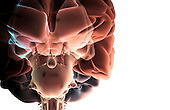 An anterior view of the brainstem relative to the brain. The cerebral nuclei, olfactory bulbs, pituitarygland and basal pons are included. Royalty Free