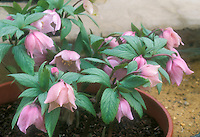 Helleborus thibetanus hellebore species pink flowers in pot