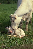 Newborn Charlois calf in meadow grass being nuzzled and licked by mother cow