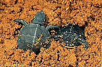 1R13-074z  Painted Turtle - young turtles emerging from nest  - Chrysemys picta