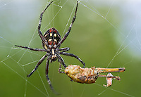 389990004 an adult wild yellow garden spider argiope aurantia feeds on prey in its web in the rio grande valley texas united states