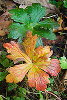 Geranium maculatum Vickie Lynn in autumn fall foliage colors changing leaf leaves