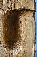 Buntspecht, Höhle im Querschnitt, Bunt-Specht, Specht, Spechthöhle, Dendrocopos major, Picoides major, great spotted woodpecker