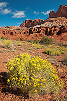 731350255 flowering rabbitbrush below the waterpocket fold in capitol reef national park utah united states