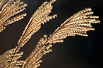 Common Reed, Backlight, Phragmites australis, UK tallest grass.United Kingdom....