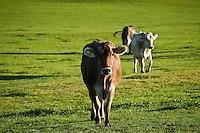 Dairy cows walk through field, Allgaeu region, Bavaria, Germany