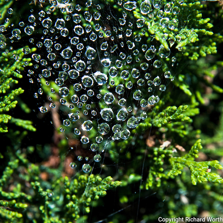 Raindrops, suspended in a spider's web in a juniper bush.