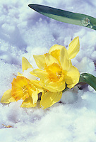 Daffodils or jonquils in late season snow