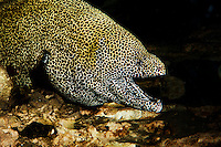 Honeycomb Moray Eel or Tesselate Moray Eel (Gymnothorax favagineus),  South Africa.