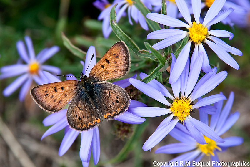 Purplish Copper Butterfly on Asters