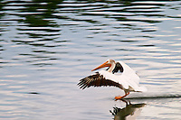 American white pelican landing on the Snake River, Oxbow Bend, Grand Teton National Park, Teton County, Wyoming, USA
