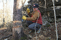 NWA Democrat-Gazette/FLIP PUTTHOFF <br /> BRINGING BACK THE GLADE<br /> Noah Sanders, a University of Arkansas student and intern at Hobbs State Park-Conservation Area, does a technique called girdling, or ring barking Wednesday Feb. 15 2017 on an eastern red cedar during a glade restoration project at the park. Hundreds of invasive cedars near the Shaddox Hollow Trail are being removed to restore a large glade. Girdling kills the tree but allows it to remain standing for bird, insect and wildlife habitat. Smaller cedars are being cut and scattered in the glade to prepare for a prescribed burn in the area that will burn the cut cedars. Volunteers are needed on Saturday to carry small cedars uphill a short distance and scatter them as part of the restoration. Meet at the Shaddox Hollow trailhead on Arkansas 303 at 8:30 a.m. Volunteers are asked to call the park at 479-789-5009 so staff will know how much help to expect and how many pizzas to order for volunteers. Helpers should bring gloves, water and wear sturdy shoes.