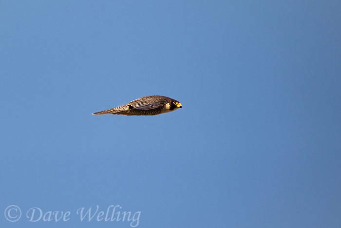 527950043 a wild federally endangered juvenile peregrine falcon falco peregrinus soars over a cliff face along the pacific ocean at torrey pines state preserve la jolla california