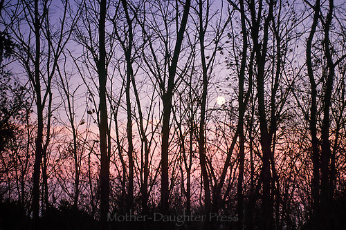 Dusk with a full moon through trees in darkening woods and alive with a pink sunset
