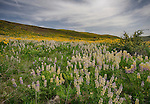 Idaho, West Central, Weiser, Mann Creek Road. Lupine and Balsam root carpet a hillside in Washington County.