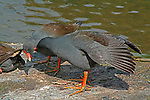 "Dusky Moorhens preening, Mt Coot-tha Botanic Gardens, Brisbane, Australia.  //  Dusky Moorhen - Rallidae: Gallinula tenebrosa. Length to 40cm, wingspan to 65cm; weight to 350g.  Occurs mainly in freshwater lakes, ponds, billabongs in Australia, New Guinea and Indonesia. Juvenile plumage is browner than that of adults. Note the characteristic white under-tail coverts of the sitting bird on the left. Feeds principally on floating and shallow submerged vegetation - algae, water-lily fragments, etc, and a variety of smaller invertebrates. Probably pairs for life, and individual pairs frequently engage in pair-bonding behavoiur, such as preening. Flies well, usually close to water surface, but prefers to swim most of thetime. A vociferous species with loud nasal 'karrak', 'ngairrr"", etc. Common in suburban parks and wetlands where it builds a large nestout of aquatic vegetation, usually on the shoreline, an emergent rock, or timber.  Defends territory vigourously when breeding with frequent loud squabbling against intruders. IUCN Status: Least Concern.   //  Mt Coot-tha Botanic Gardens - Administered by the Brisbane City Council, and one of the two botanic gardens close to the city centre. Covers 52Ha (115acres) with extensive plantings of exotic species, including the rare Wollemi Pine (Araucariaceae: Wollemia nobilis - IUCN Status: Critically Endangered), a relict survivor from 200 million years ago in southern Gondwanaland. Display gardens include a Japanese Garden, Arid Zone Garden, Bonsai House; as well as the Sir Thomas Brisbane Planetarium, that hosts education displays for schools, and the general public. Much of the gardens still have original forest habitats, and two artificial lakes attract a variety of waterbirds.  //  Dr Eric Lindgren//"
