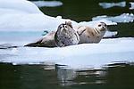 Harbor seals (Phoca vitulina), Glacier Bay National Park and Preserve, Alaska<br /> Canon EOS-1N<br /> Canon EF 70-200mm lens<br /> June 2000