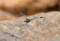 339850007 a wild male slender clubskimmer brechmorhoga praecox in fligt over a small stream in sabino canyon pinal county arizona