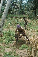 Men weeding field with hoes in Ghana