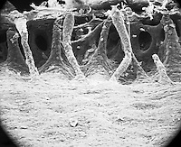 "The mammal (rabbit) eye trabecular are covered with endothelial lining of the cornea. Openings within and between the trabecular meshwork are called intertrabecular spaces of Fontana.  SEM X95   3.5"" X 4.5""  **On Page Credit Required**"