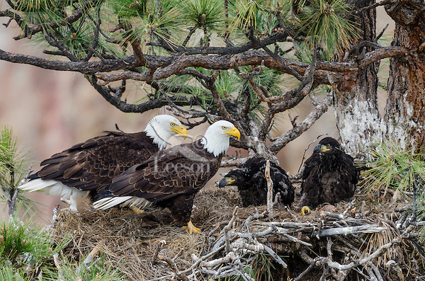 Bald Eagle Nest (Haliaeetus leucocephalus)--both adults with two 5 to 6 week old eaglets in tall ponderosa pine tree.  Oregon.  May.
