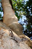 A Rock Gecko (Pristurus guichardi) sitting on a tree branch, Socotra, Yemen