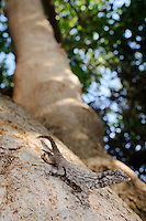 A Rock Gecko (Pristurus guichardi) sitting on a tree branch, Socotra, Yemen