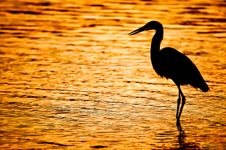 Great Blue Heron hunts in early morning light at Lake Powell, Glen Canyon National Recreation Area, Utah, USA