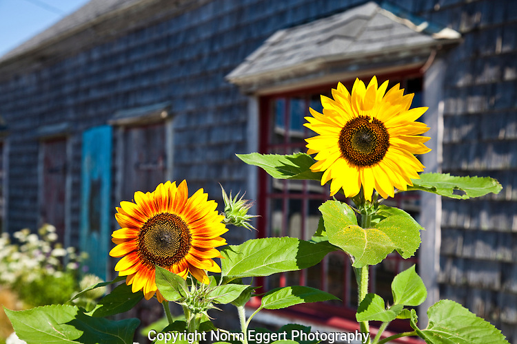 Two sunflowers grow in a garden next to the Frying Pan Gallery in Well fleet, Massachusetts