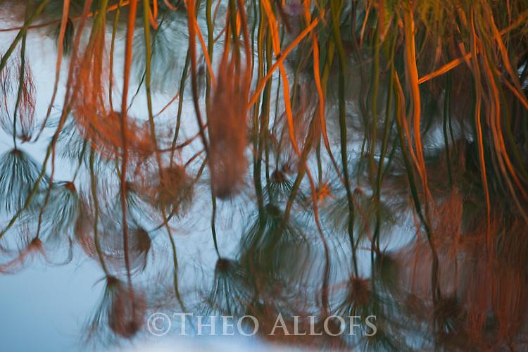 Botswana, Moremi Game Reserve, Okavango Delta, Papyrus reflection in Okavango River