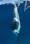 Dwarf minke whale near the minke line of the Undersea Explorer (Balaenoptera acutorostrata)