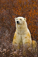 A male polar bear in vegetation on the tundra along Hudson Bay, near Churchill, Manitoba, Canada