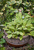 Salvia officinalis Ictarina in pretty pot container, with forget-me-nots, variegated Plectranthus, variegated plants different types together