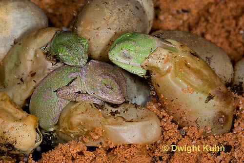 CH43-508z  Veiled Chameleon young hatching from eggs, Chamaeleo calyptratus