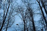 Raven and bare trees, Dungeness River.