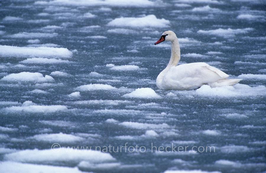 Höckerschwan, im Winter auf zugefrorenem Gewässer, Eis, Schnee, Kälte, Höcker-Schwan, Schwan, Cygnus olor, mute swan