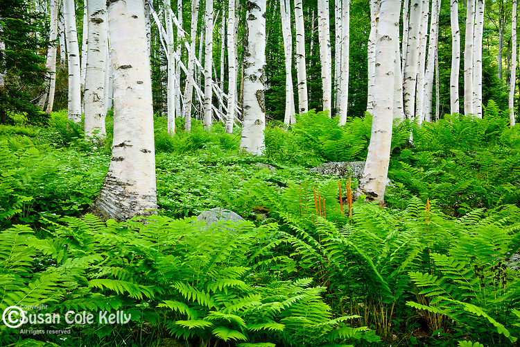 Cinnamon fern and Bunchberry carpet a Birch forest in Pinkham Notch, White Mountain National Forest, NH, USA