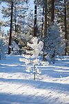A small frost covered tree on a sunny winter day in Montana