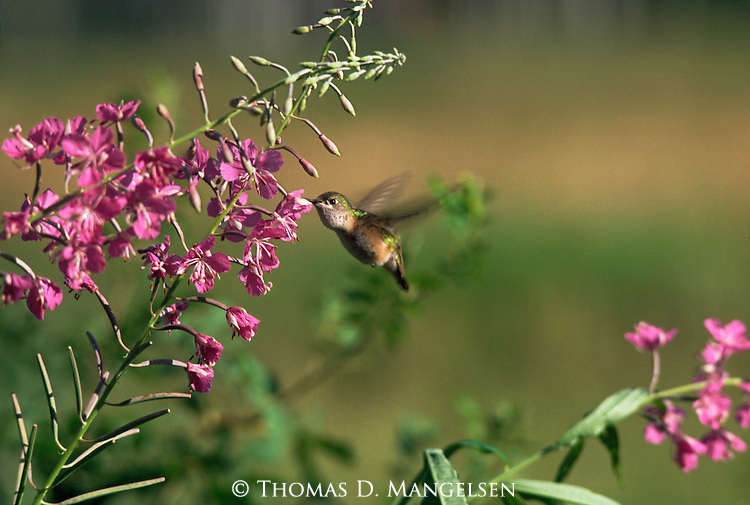 Calliope hummingbird hovering at a fireweed plant in Grand Teton National Park, Wyoming