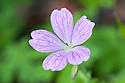 Geranium x oxonianum 'Rosenlight', early July.