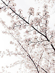 Artistic closeup of cherry blossom over bright white sky. Kyoto, Japan.