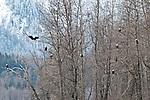 Bald eagles fill the trees during last salmon run, Chilkat River, Chilkat Bald Eagle Preserve, Haines, Alaska