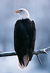 A portait of a Bald Eagle perched on a snowy branch.