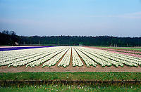 Flower fields around Bloemendaal (Netherlands, 11/04/1991)