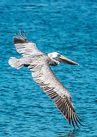 Brown Pelican<br />