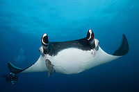 QT1934-D. Manta Ray (Manta birostris). Baja, Mexico, Pacific Ocean.<br /> Photo Copyright &copy; Brandon Cole. All rights reserved worldwide.  www.brandoncole.com